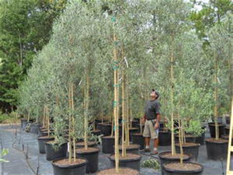 chemlali olive olive tree growers chemlali koroneiki