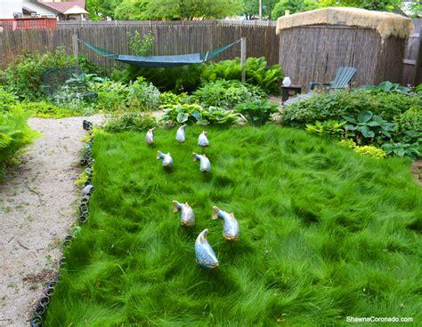 no mow grass update and fish in the garden shawna coronado