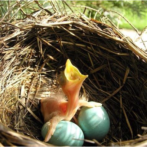 baby bird birds nests nestlings pinterest