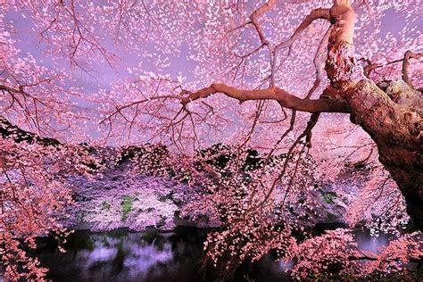 il giardino dei ciliegi riassunto curiosidades sobre a cerejeira de okinawa flores