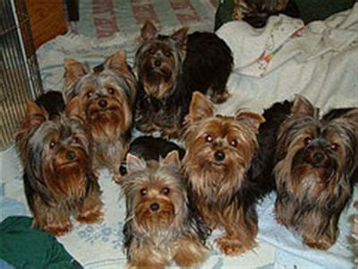 how much should a yorkie poo weigh 42 best yorkie images on yorkies terriers and teacup yorkie