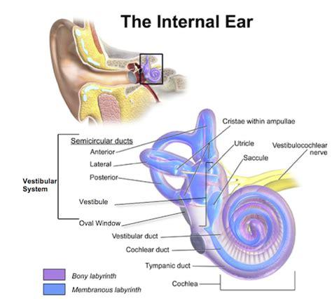 vestibular nerve definition the vestibular system definition anatomy function