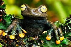 frog colors golden toes frogs toads others