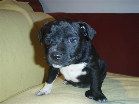 pitbull mixed with chihuahua puppies grown chihuahua pitbull mix breeds picture