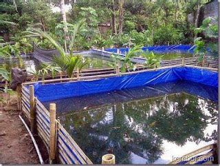 Bibit Lele Di Aceh budidaya lele di kolam terpal budidayaku