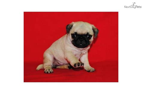 sassy pug pug puppy for sale near southeast missouri missouri 4049f49f 2461