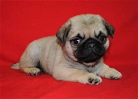 pug puppies for sale in indianapolis dogs indianapolis in free classified ads
