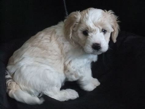 cavapoochon puppies for sale the gallery for gt cavapoochon puppies for sale