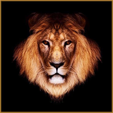imagenes d leones con frases imagenes de leones con frases para facebook archivos