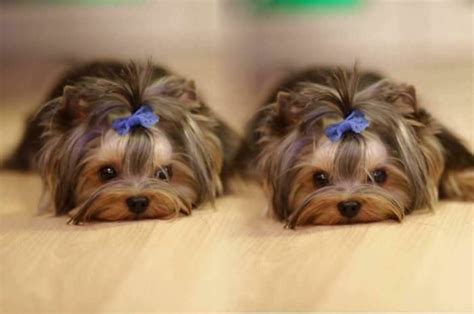 how often should i groom my yorkie ask a groomer how often should i groom my iheartdogs