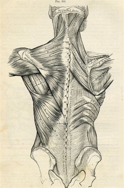 Drawing Human Anatomy by Human Back Human Anatomy Illustration 1887