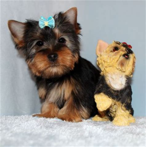 yorkie puppies for adoption in ma terrier puppies for adoption