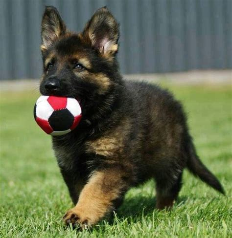 adorable german shepherd puppy german shepherd puppies doglers