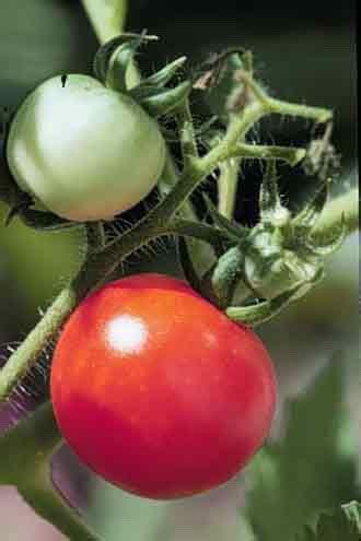sifa evi bitkiler domates bitki