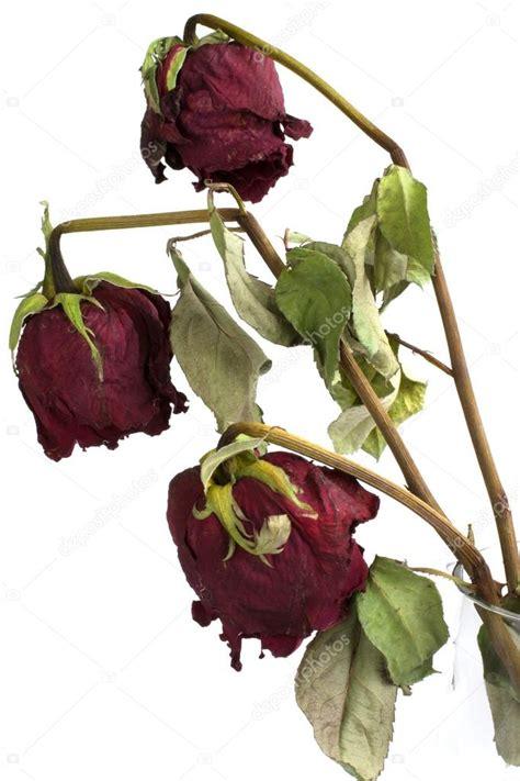 imagenes de flores marchitas tres rosas marchitas aisladas sobre fondo blanco foto de