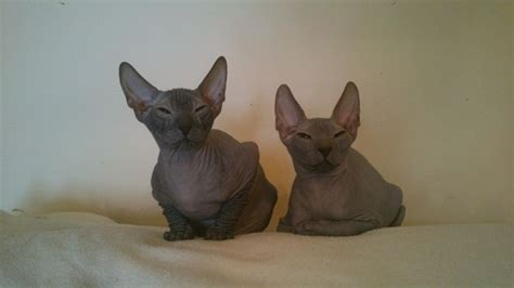 sphynx cats for sale sphynx kittens for sale romford essex pets4homes