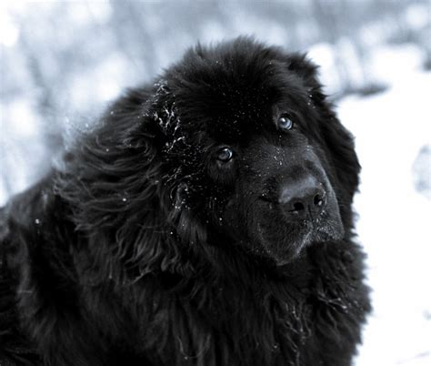 newfoundland dogs newfoundland in the snow photo and wallpaper beautiful newfoundland in the