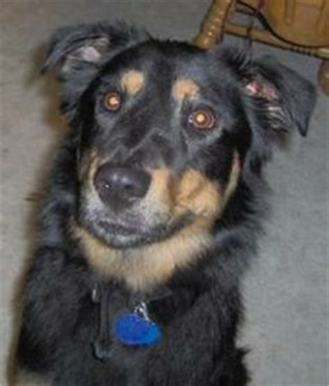 doberman pomeranian mix 1000 images about dogs breads on husky german shepherd mix and
