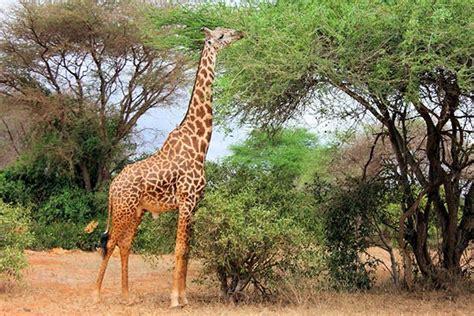 imagenes de jirafas comiendo hojas animales herb 237 voros ejemplos y caracter 237 sticas