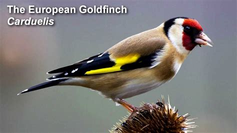 goldfinch birdsong european goldfinch birdsong youtube