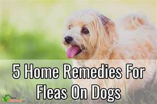 home remedy for fleas on dogs 5 home remedies for fleas on dogs home remedies