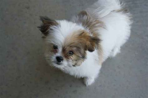 shiranian puppy shiranian pomeranian shih tzu mix info care pictures
