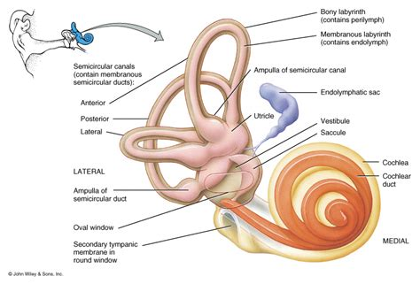 diagram of inner ear human ear structure and anatomy