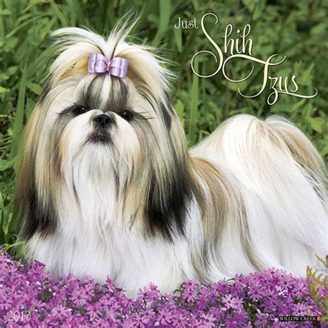 haired shih tzu 1000 images about shih tzu on maltese pets and brussels griffon puppies