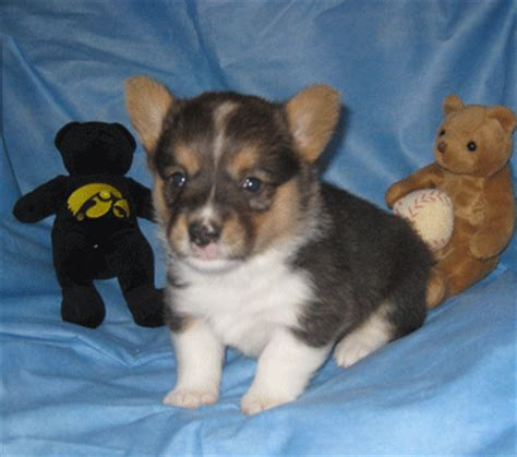 corgi puppies for sale in iowa puppies for sale pembroke corgi pembroke corgis pembrokes f