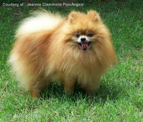 pomeranian behaviour pomeranian information facts pictures and grooming learn breeds picture