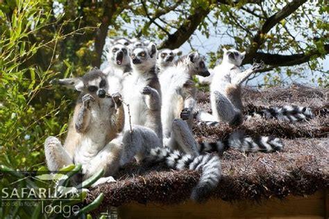 Dormir Avec Les Tigres 1257 by Dormir Avec Les Tigres Au Zoo De La Fl 232 Che Easyvoyage