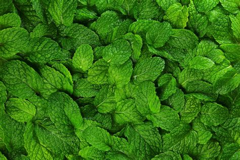 Lemon Balm Vs. Mint: SPICEography Showdown - SPICEography Mint Leaves Wallpaper