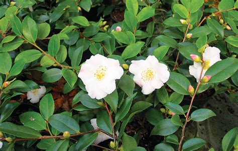 emily porter plants top tips on camellias garden design journal