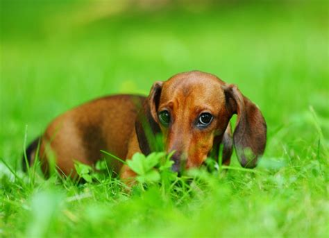 why would my dog start pooping in the house 7 common reasons why dogs eat poop coprophagia in dogs page 2 of 3 urdogs