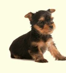 yorkie puppies for sale in baltimore yorkie miniature pinscher mix to the dogs miniature pinscher