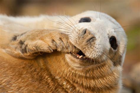 wallpaper grey seal scotland sable island funny teeth