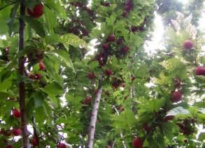 file plum tree with fruit jpg