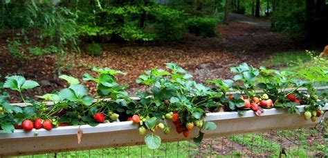 Strawberry Garden Ideas Image Gallery Strawberry Garden