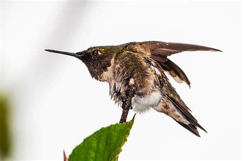 ruby throated hummingbirds stephen l tabone nature
