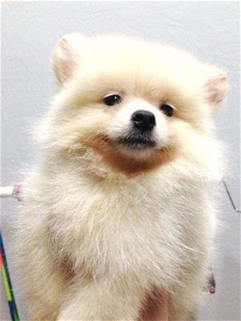 white mini pomeranian pomeranian puppies sold 5 years 1 month mini white pomeranian for sale from klang