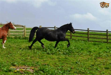 section d horses for sale stunning welsh section d mare clitheroe lancashire