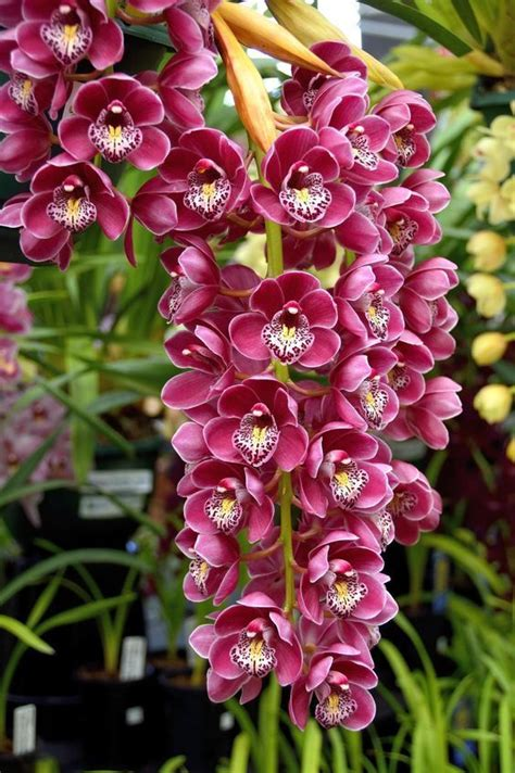 100 facts about orchids 6 incredible flowers that 25 best ideas about cymbidium orchid care on pinterest