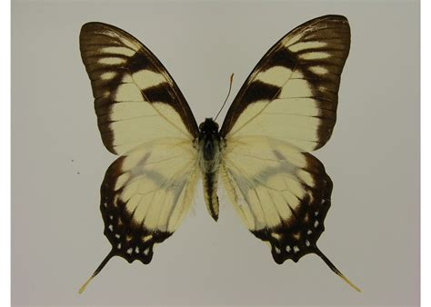 Butterfly L by Eurytides Dolicaon Septentrionalis Syntype Tl Panama Bmnh