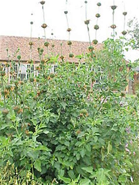 Plant Chandelier Leonotis Nepetifolia Wikipedia