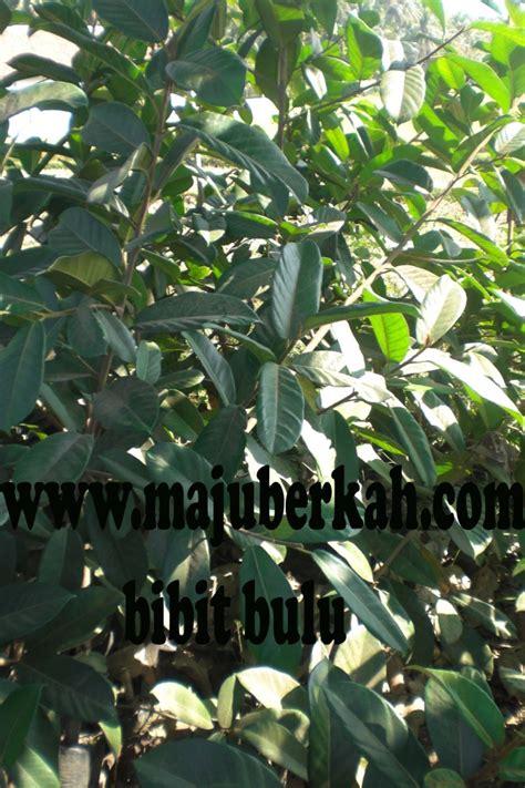 Jual Bibit Ficus Repens bibit bulu bibit tanaman bulu jual bulu tanaman bulu