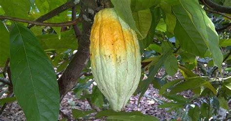 Bibit Jamur Tiram Purbalingga pengendalian hama penggerek buah kakao bonjava farm