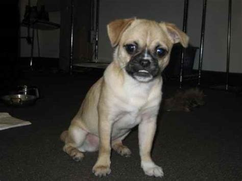 butch the pug butch the pekingese pug mix at 5 years puginese breeds picture