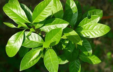 Khasiat Dasyat Dan Salam 15 manfaat daun salam untuk kesehatan dan menurunkan berat badan 187 omsehat