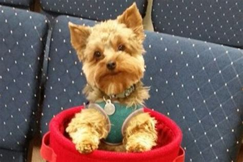 yorkie liver shunt diet fundraiser by patty rumpza church mascot needs help