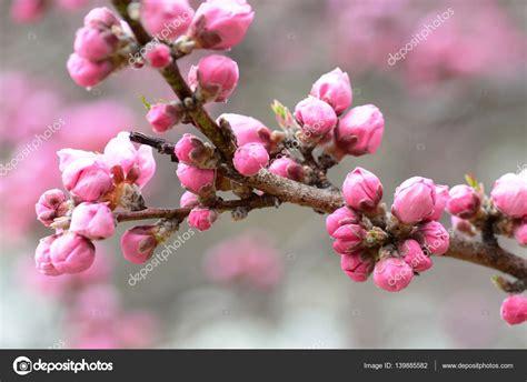 boccioli di fiori boccioli di rosa fiori di ciliegio quasi pronta ad aprire